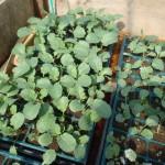 ブロッコリの苗