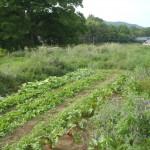 松井ファームの畑