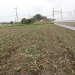 トウモロコシの跡
