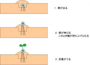 発芽のプロセス