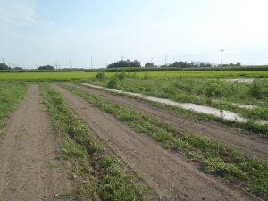 草だらけのニンジン畑