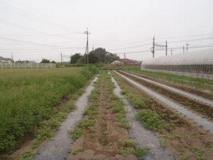 草だらけのトウモロコシ畑